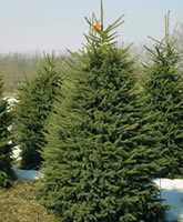black hills spruce christmas tree