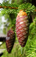 norway spruce pine cone