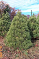 red pine christmas tree